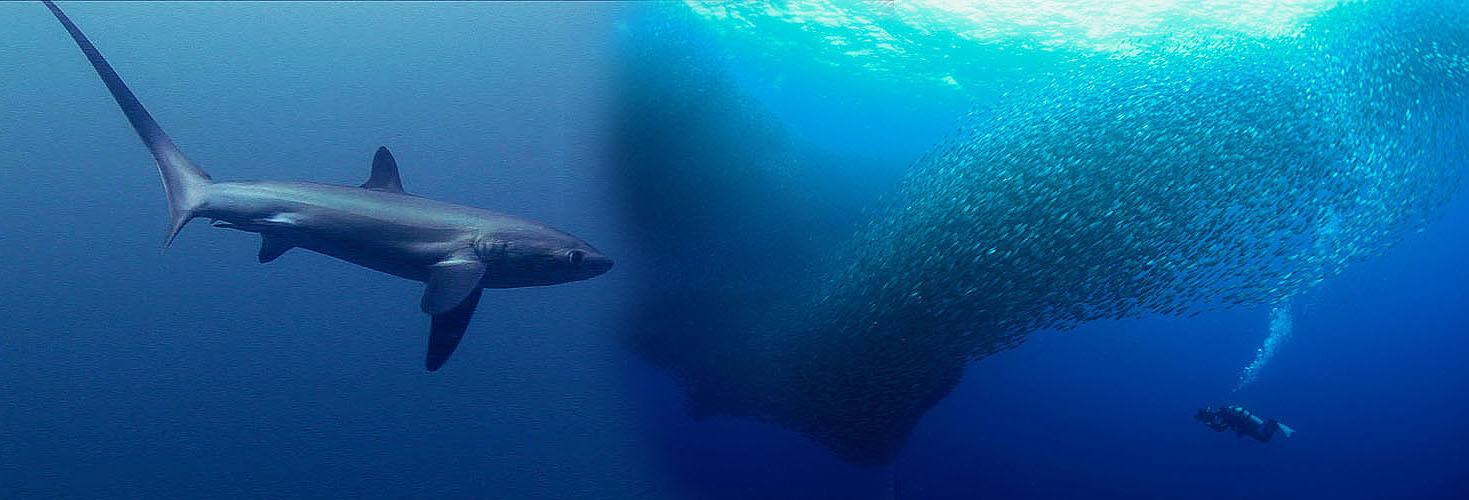 Unterwasser Kameramann Klemens Gann und Fuchshai